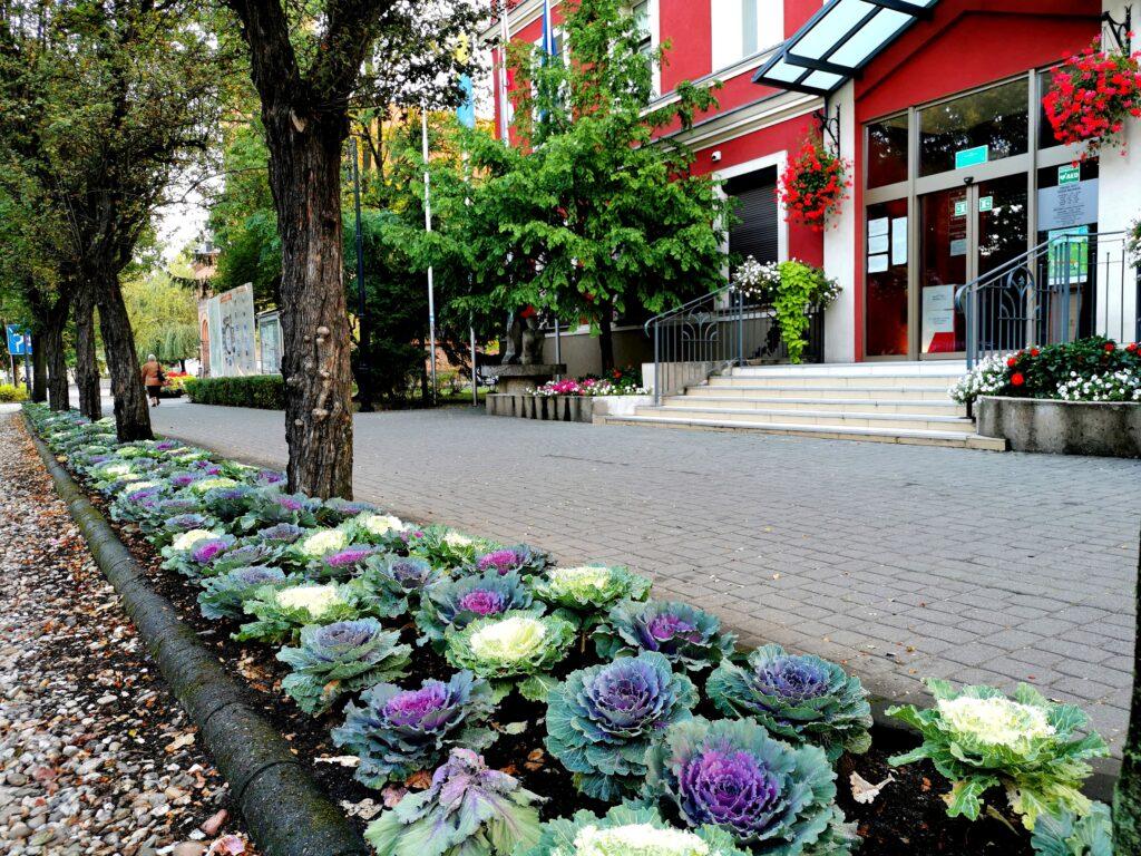 Na zdjęciu jesienne nasadzenia kwiatów przed urzędem miejskim. Na pierwszym planie ozdobne, kolorowe kapusty, w tle urząd od frontu